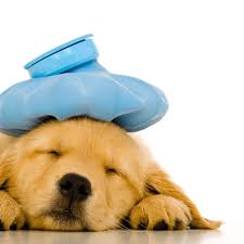 sick puppy with ice pack